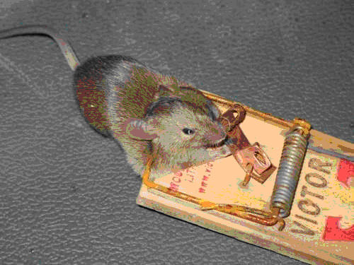 Diy Killing Your House Rats Antipest Blog