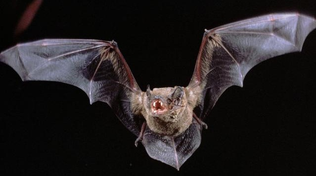 A Bat In Your House What To Do Antipest Blog