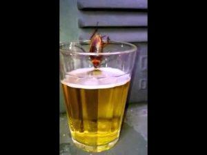 drinking-roach