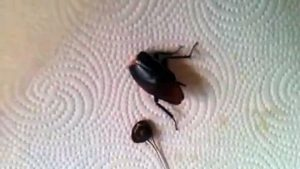 headless-roach